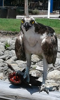 Honorable Mention - Donald Breton - Osprey with Fish