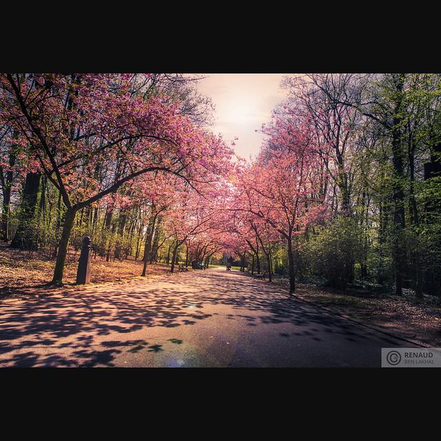 Cerisiers du Japon - Parc Josaphat Schaerbeek