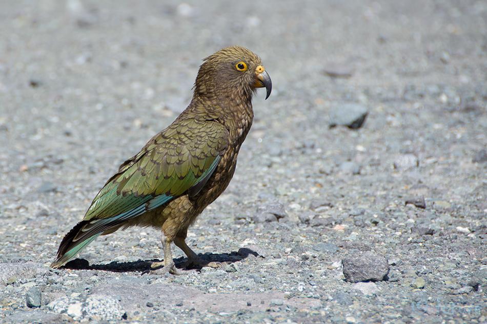 Kea, Keapapagoi, Nestor, notabilis, Fiordland, New, Zealand, Aotearoa, Kaido Rummel