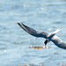 Common Tern in a dive