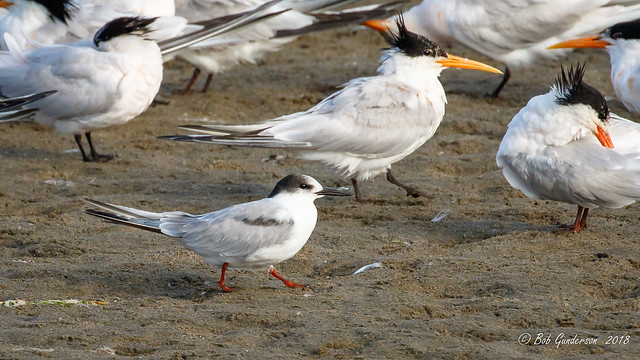 H2) Common Tern with some Elegant Tern friends