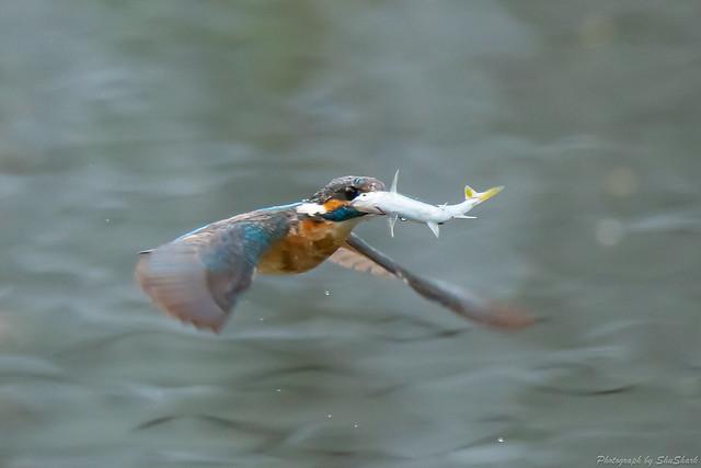 20180628-kingfisher-DSC_4623