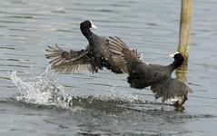 combat entre foulques macroule au lac de Creteil à Paris - Eurasian Coot
