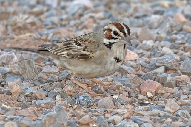 Lark-Sparrow-5-7D2-070718