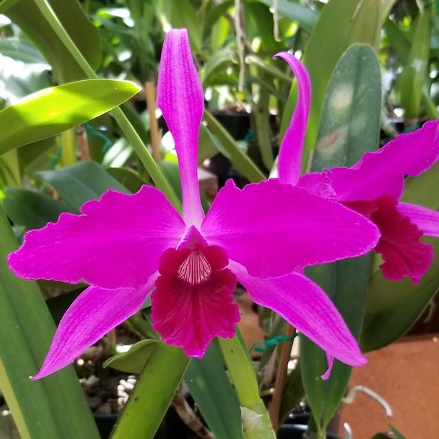 Laelia purpurata 'RWA 071218' (var. flammea x sib)(EOOM)(outdoor light)