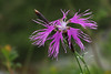 Photo:Dianthus superbus var. speciosus タカネナデシコ By ashitaka-f studio k2