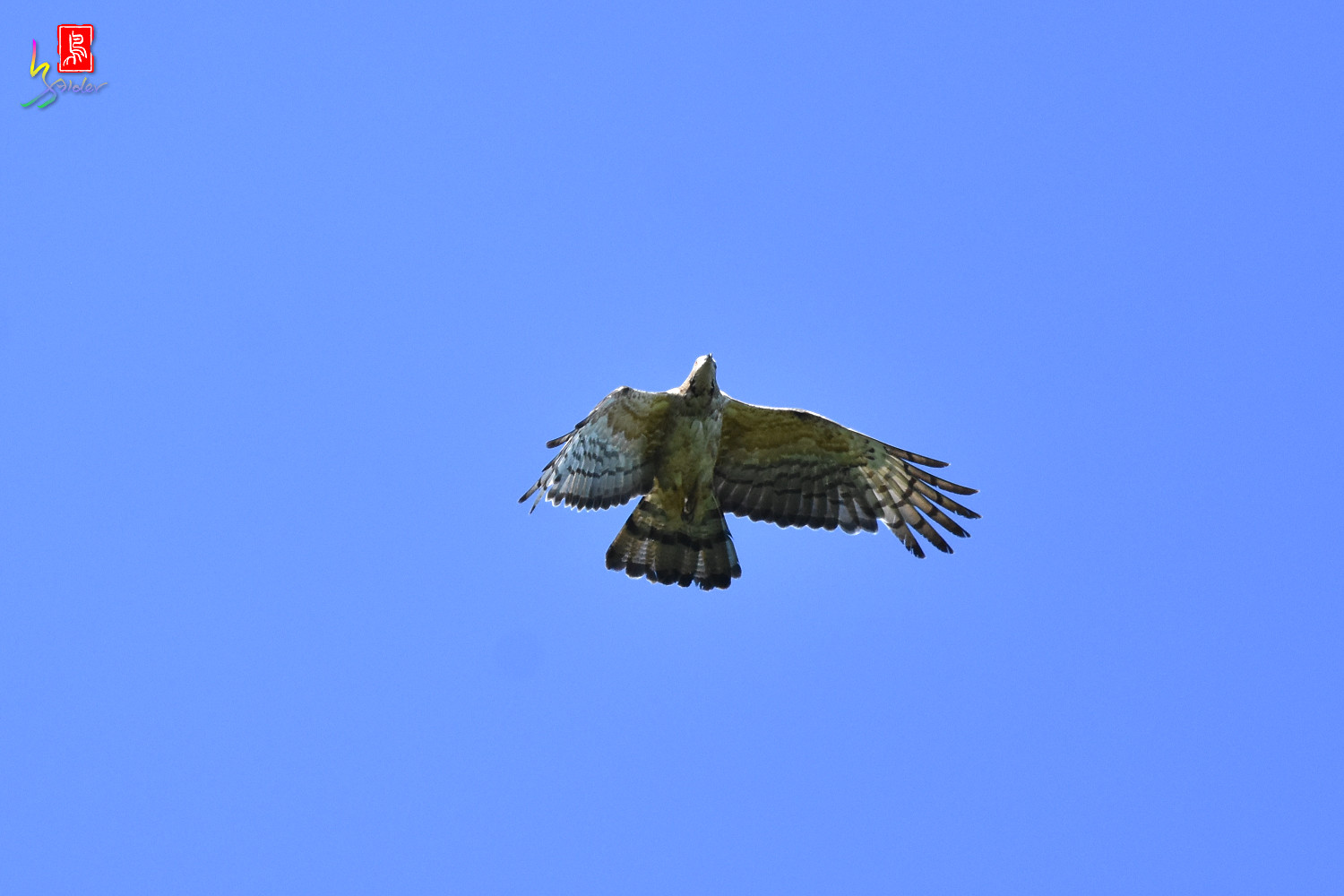 Honey_Buzzard_0232