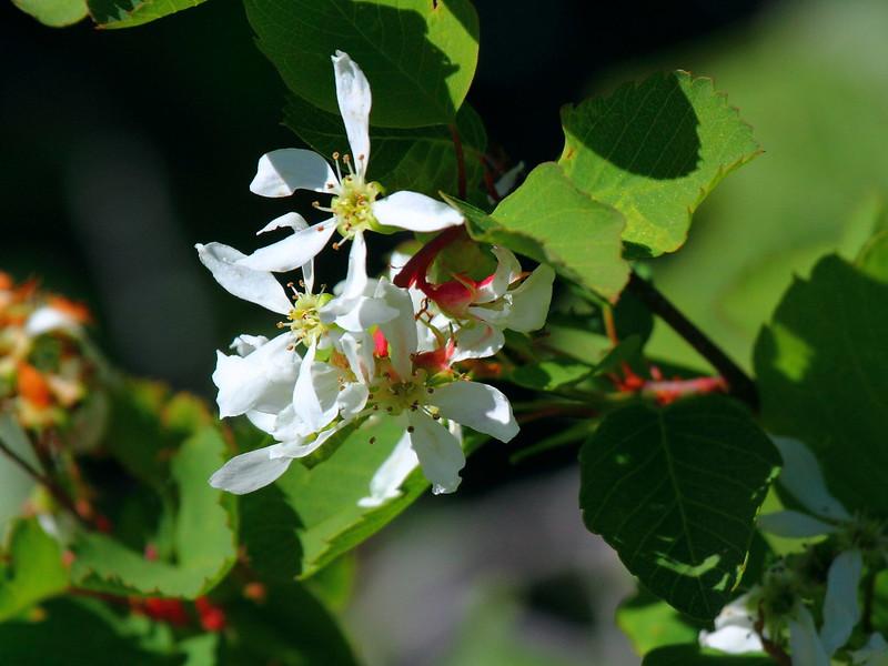 IMG_6485 Serviceberry (Amelanchier alnifolia)