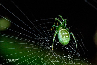 Orb weaver spider (Prasonica cf. seriata) - DSC_6725