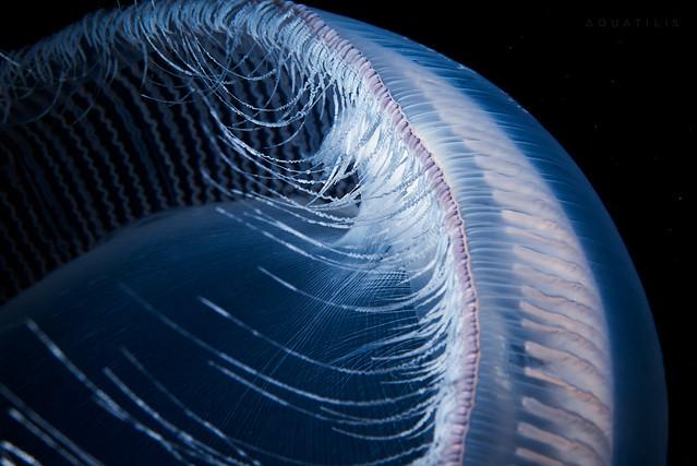 Aequorea sp. tentacles