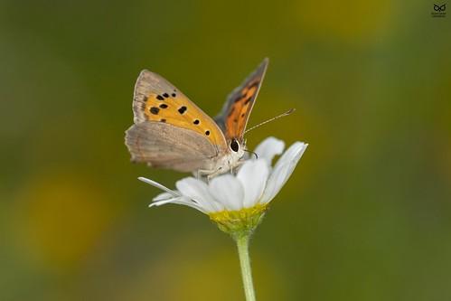 """""""Borboleta"""", Common Copper(Lycaena phlaeas)"""