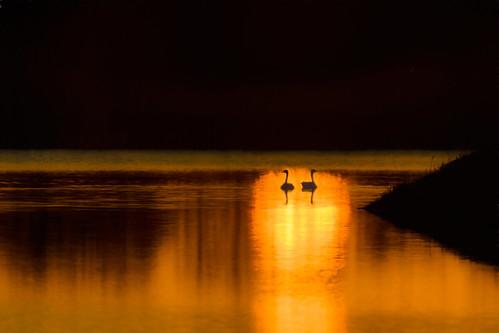 canadageesecouple brantacanadensis canadageese sunrise platteriver woodriver nebraska yextnebraska