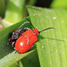 Lily beetles 19.04.2018 by Margaret the Novice