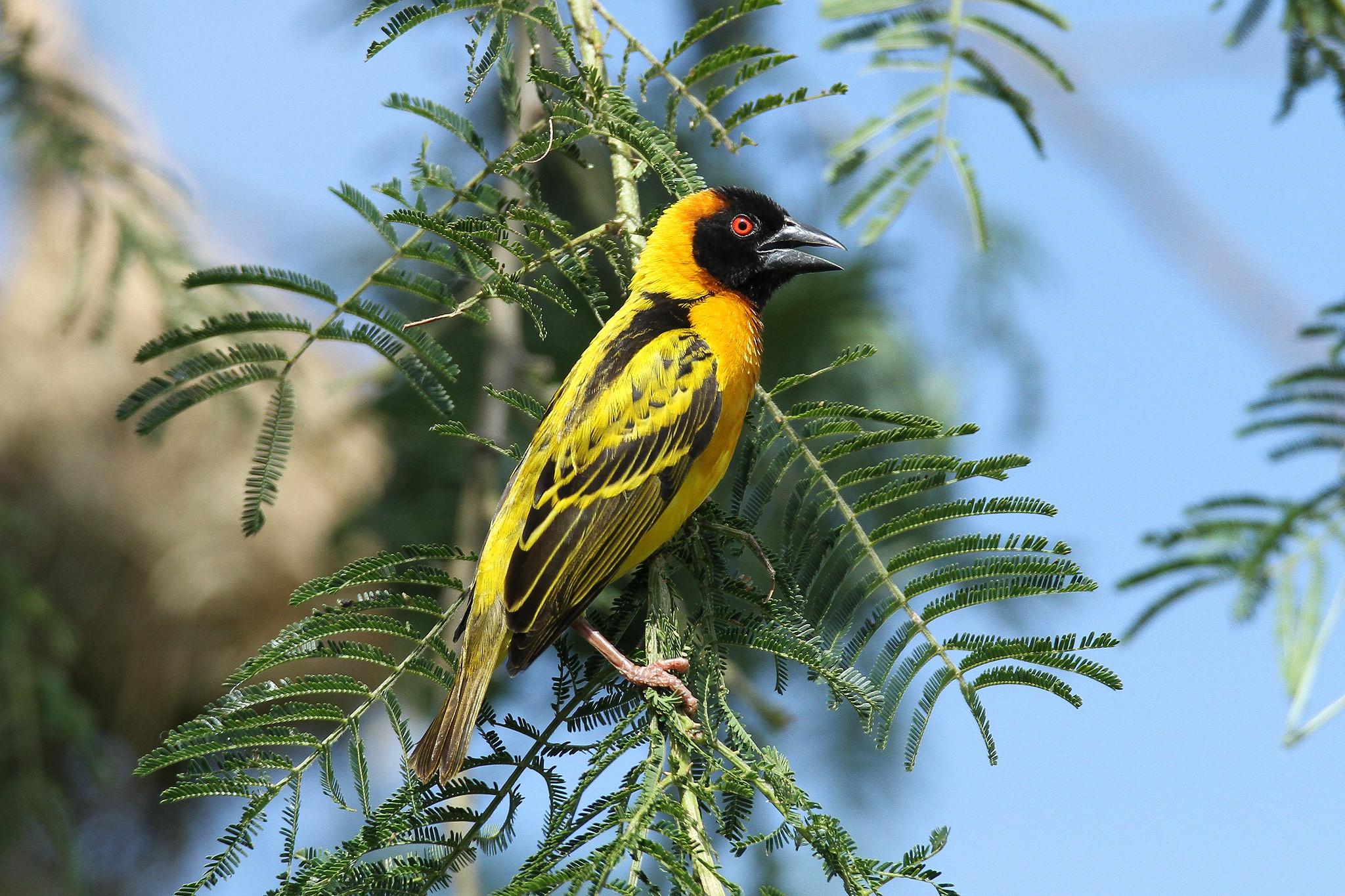 Ploceus cucullatus ♂ (Black-headed Weaver) - Isunga, Uganda