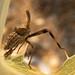 Almana longipes by bego vega