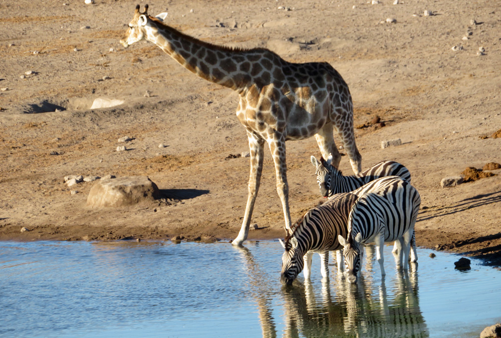 giraffe-zebra-water-hole