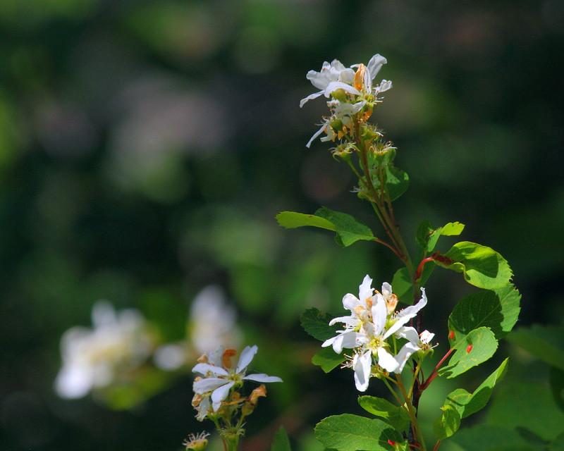 IMG_7761 Serviceberry (Amelanchier alnifolia)