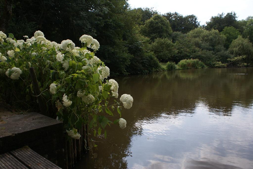Hortensias au bord de l'eau.