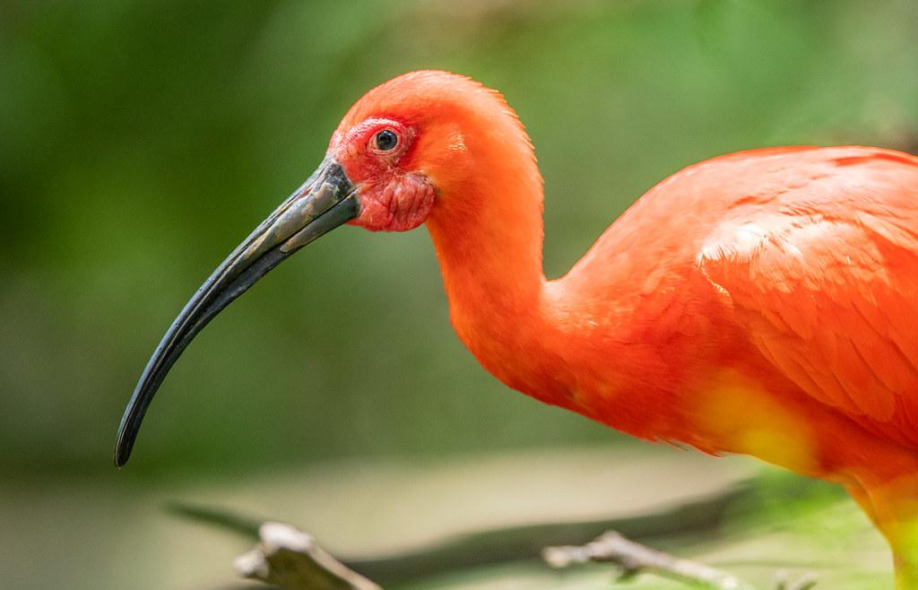 Scarlet Ibis_8