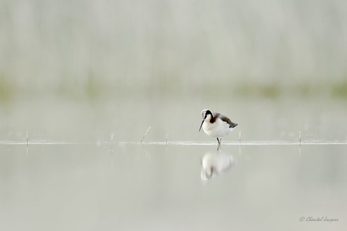Lost in Time and Space-  Wilson's Phalarope