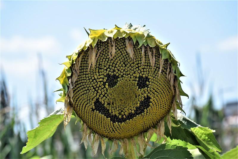 Sunflowers 26.07 (5)