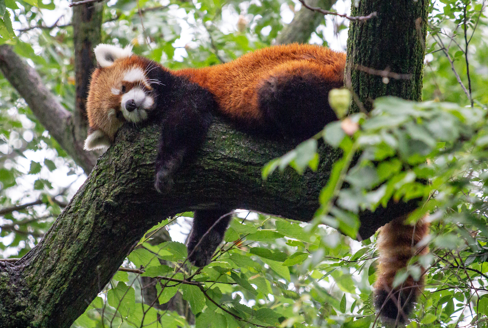 Sleeping Red Panda, Cincinnati Zoo