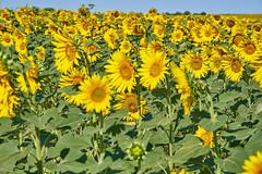 Field of sunflowers - Photo of Baron