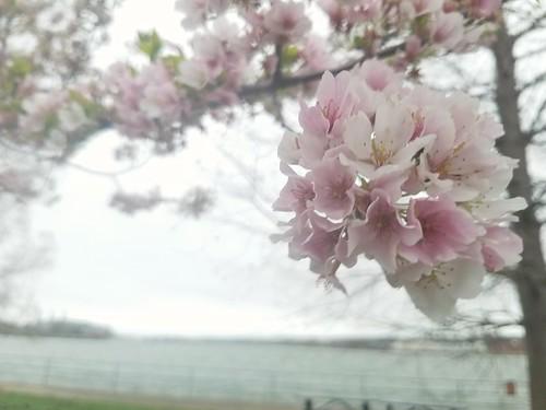 Blossoms along the Potomac