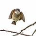 Sacred Kingfisher 97