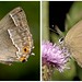 Four Hairstreaks Of Cambridgeshire.