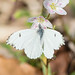 Falcate Orangetip (Anthocharis midea)
