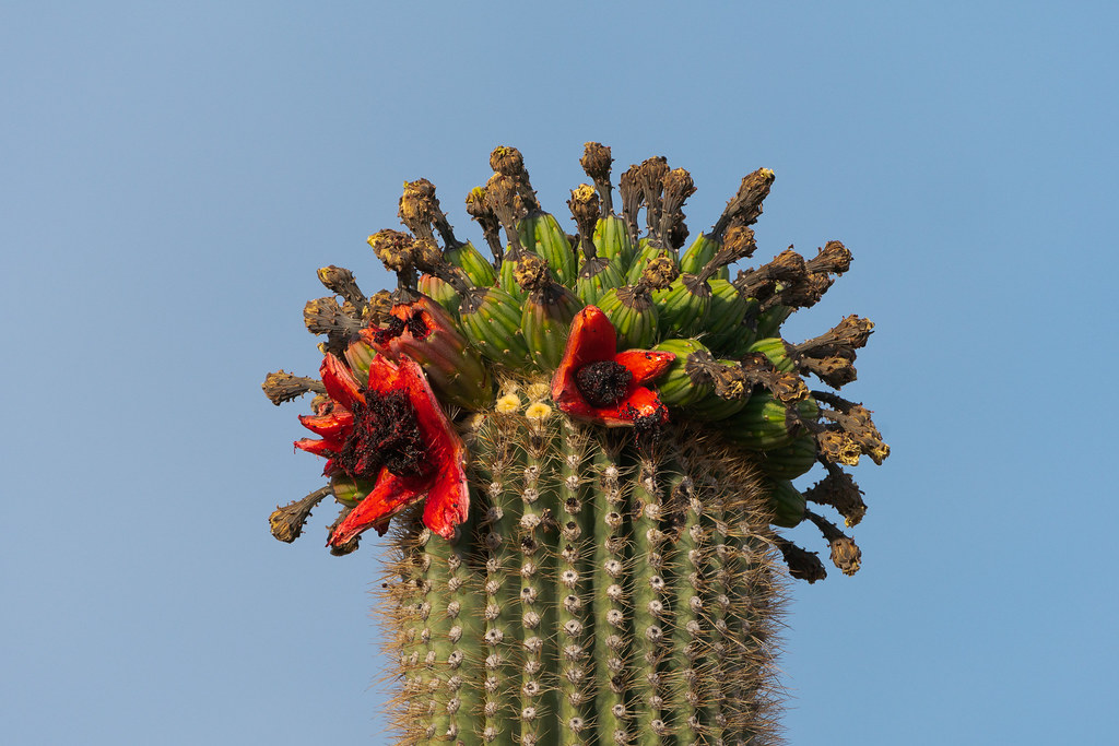Fruit begins to ripen atop a saguaro on the Vaquero Trail in McDowell Sonoran Preserve in Scottsdale, Arizona