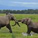 Young Bull Elephants Going Tusk to Tusk - 9995b+ by teagden