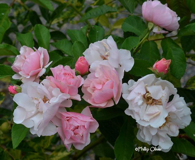 rose-cornelia