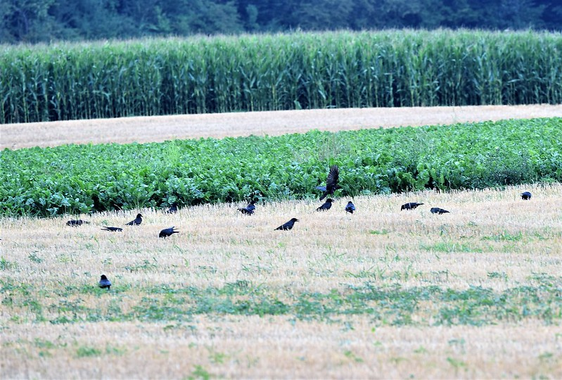 Crows 23.07 (6)