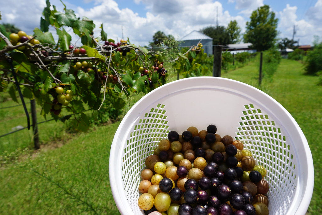 Picking scuppernongs and muscadines at Henscratch Farms Vineyard and Winery, Lake Placid, Fla., July 2018.