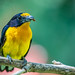 Violaceous Euphonia (Euphonia violacea) in the Hummingbird House at the San Diego Zoo by Jim Frazee