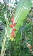canna lily(0.0), arum(0.0), produce(0.0), food(0.0), crop(0.0), rainforest(1.0), flower(1.0), leaf(1.0), plant(1.0), flora(1.0), heliconia(1.0), ensete(1.0),