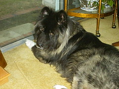 german shepherd dog(0.0), cairn terrier(0.0), dog breed(1.0), animal(1.0), dog(1.0), caucasian shepherd dog(1.0), pet(1.0), shiloh shepherd dog(1.0), carnivoran(1.0),