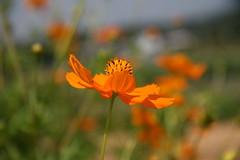 eschscholzia californica(0.0), field(0.0), coquelicot(0.0), grassland(0.0), poppy(0.0), prairie(1.0), flower(1.0), yellow(1.0), plant(1.0), macro photography(1.0), wildflower(1.0), flora(1.0), close-up(1.0), sulfur cosmos(1.0), petal(1.0),
