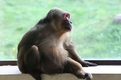 chimpanzee(0.0), western gorilla(0.0), tufted capuchin(0.0), capuchin monkey(0.0), white-headed capuchin(0.0), common chimpanzee(0.0), macaque(0.0), ape(0.0), wildlife(0.0), animal(1.0), monkey(1.0), mammal(1.0), fauna(1.0), old world monkey(1.0), new world monkey(1.0),