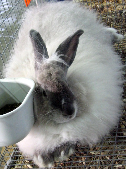 2006 TN State Fair: The fluffiest of rabbits