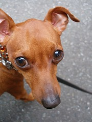 german pinscher(0.0), italian greyhound(0.0), dog breed(1.0), animal(1.0), dog(1.0), pet(1.0), russkiy toy(1.0), miniature pinscher(1.0), pinscher(1.0), english toy terrier(1.0), close-up(1.0), carnivoran(1.0),
