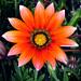 FLOWER by Viorica G