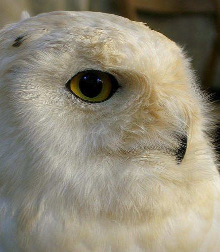 Ms. White Owl...