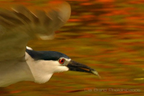 again let's do a panning…♫  black crowned night heron from bali♫