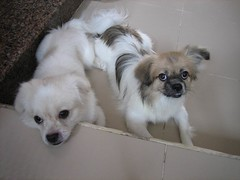 dog breed, animal, dog, pet, tibetan spaniel, carnivoran,