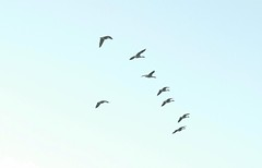 crane(0.0), animal migration(1.0), animal(1.0), water bird(1.0), wing(1.0), flock(1.0), bird migration(1.0), bird(1.0), flight(1.0),