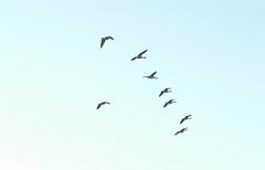 animal migration, animal, water bird, wing, flock, bird migration, bird, flight,