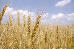 grass(0.0), food(0.0), emmer(1.0), prairie(1.0), agriculture(1.0), triticale(1.0), einkorn wheat(1.0), rye(1.0), food grain(1.0), field(1.0), barley(1.0), wheat(1.0), plant(1.0), crop(1.0), cereal(1.0), grassland(1.0),